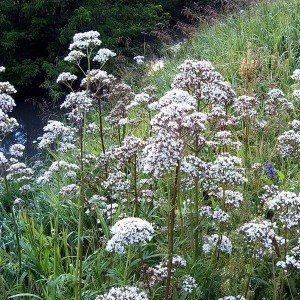 Валериана (Tagara) – одно из лучших растений для лечения нервных расстройств, имеющих природу Ваты